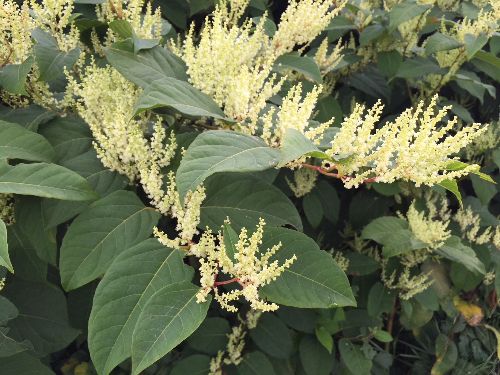 autumn knotweed SR