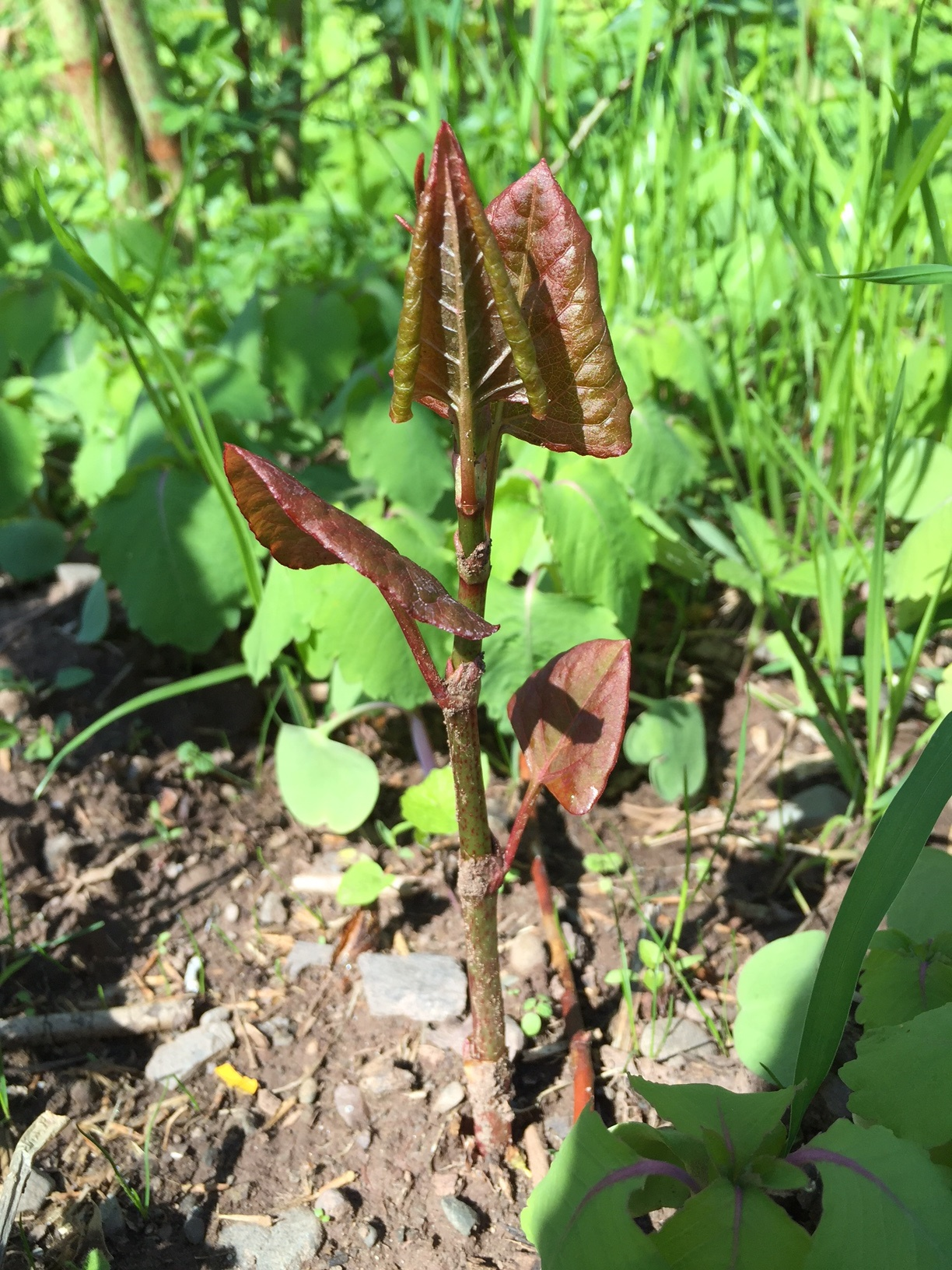 spring japanese knotweed 1 SR rotated